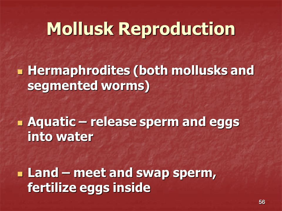Mollusk Reproduction Hermaphrodites (both mollusks and segmented worms) Aquatic – release sperm and eggs into water.