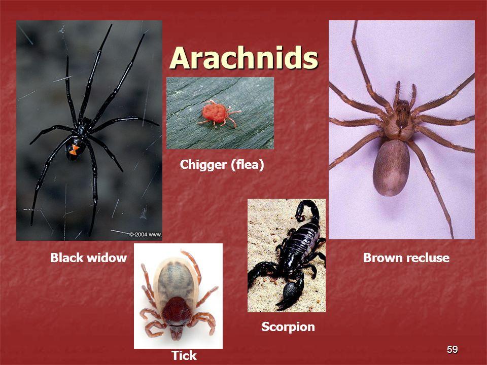 Arachnids Chigger (flea) Black widow Brown recluse Scorpion Tick