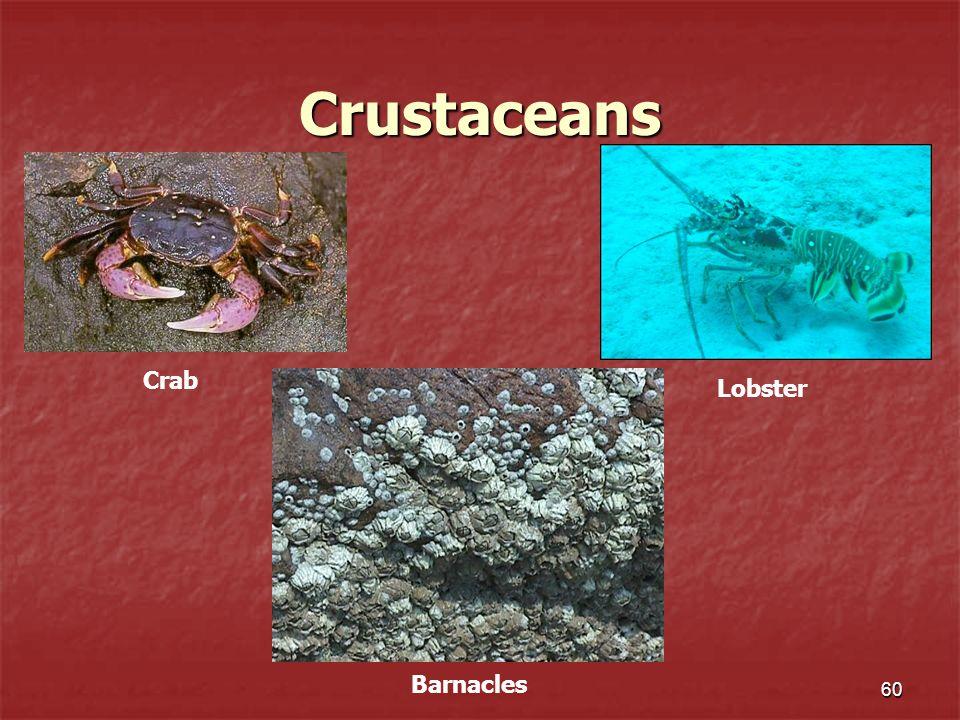 Crustaceans Crab Lobster Barnacles