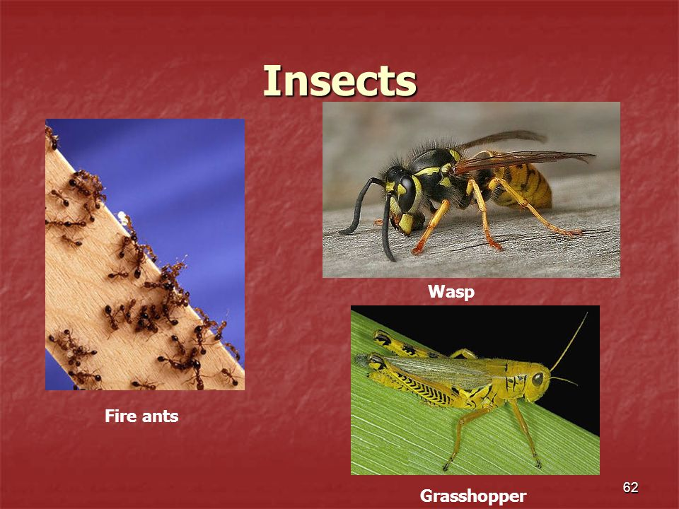 Insects Wasp Fire ants Grasshopper