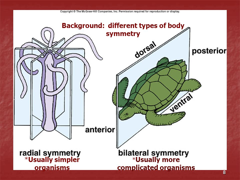 Background: different types of body symmetry