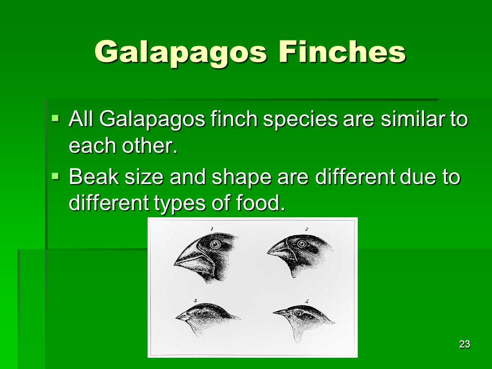 Galapagos Finches All Galapagos finch species are similar to each other.