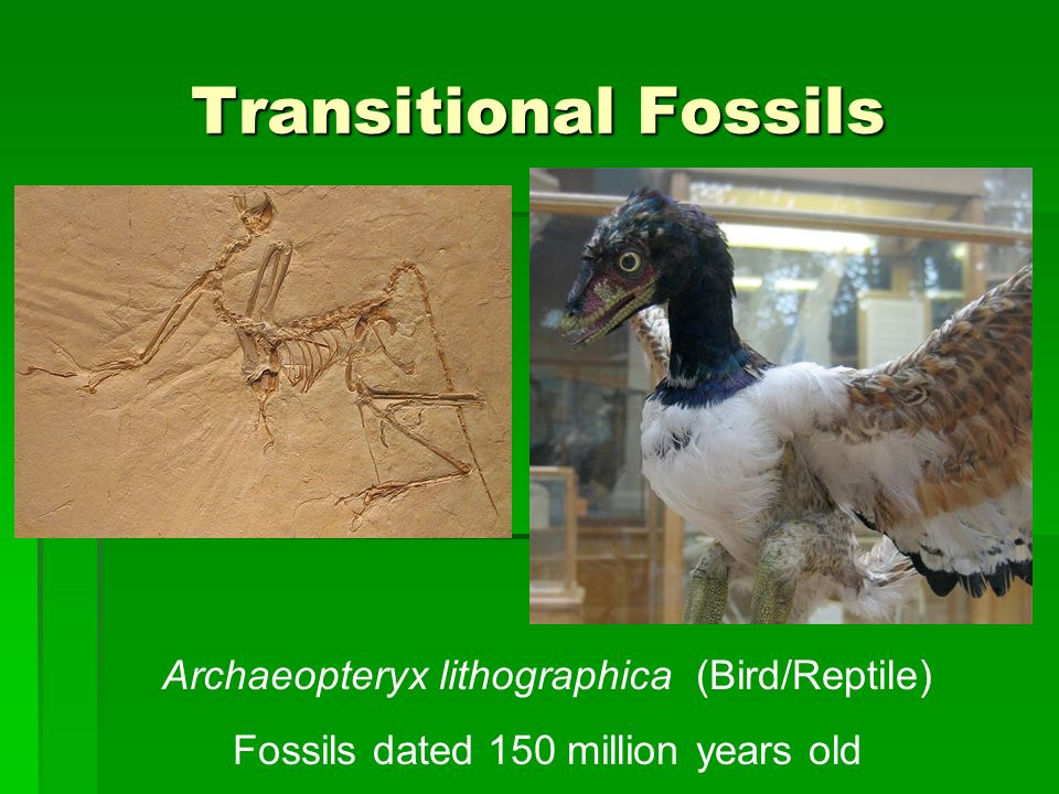 Transitional Fossils Archaeopteryx lithographica (Bird/Reptile)