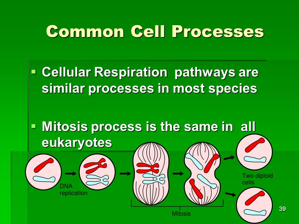 Common Cell Processes Cellular Respiration pathways are similar processes in most species.