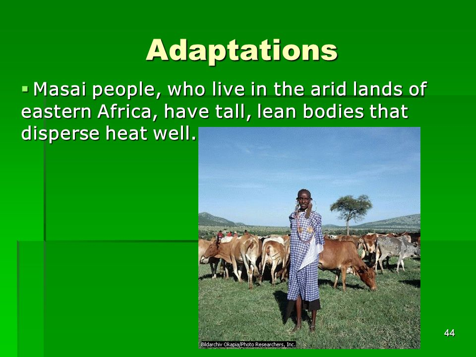 Adaptations Masai people, who live in the arid lands of eastern Africa, have tall, lean bodies that disperse heat well.
