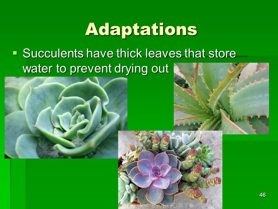 Adaptations Succulents have thick leaves that store water to prevent drying out