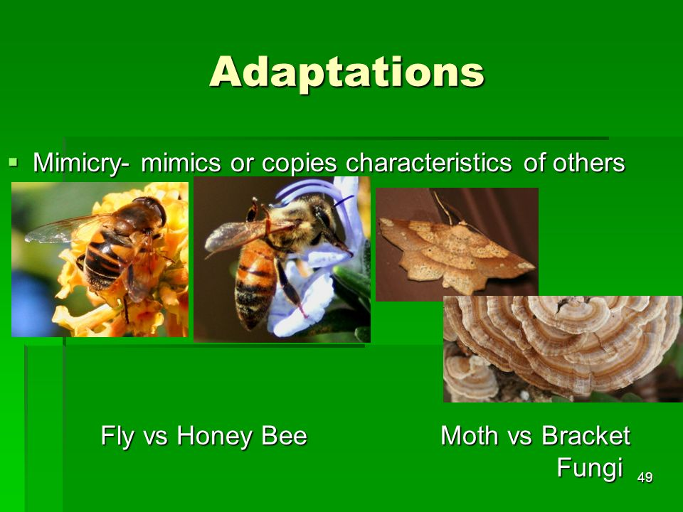 Adaptations Mimicry- mimics or copies characteristics of others