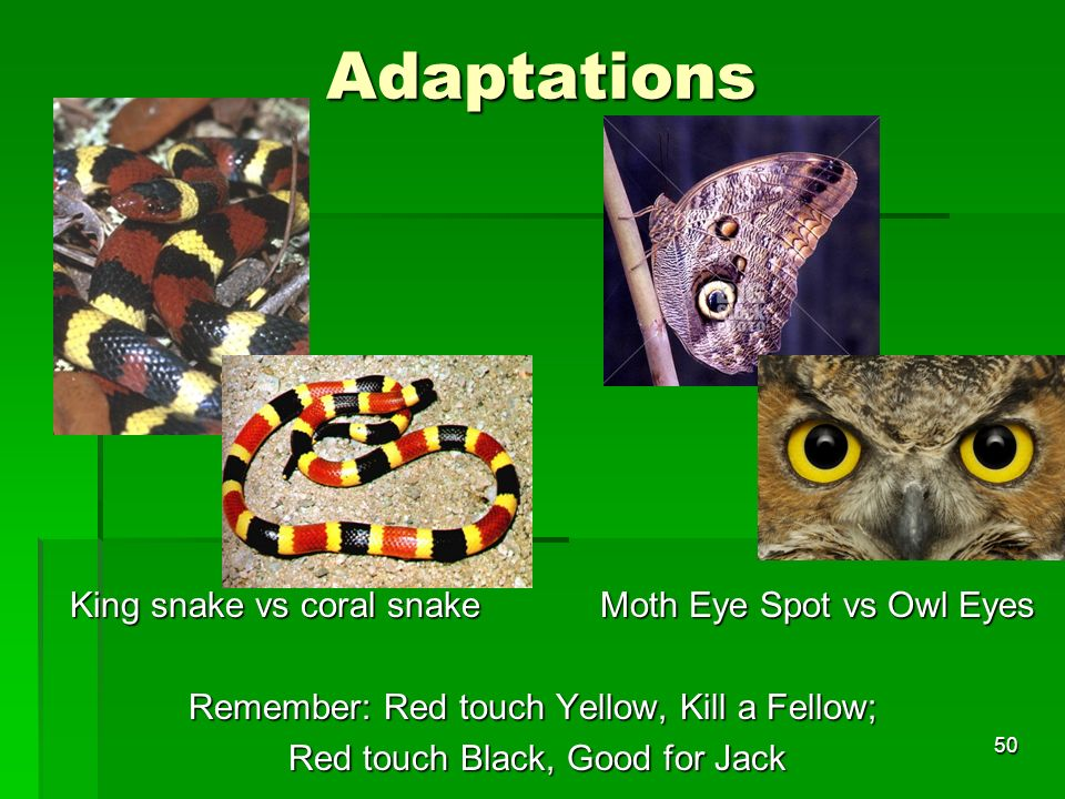 Adaptations King snake vs coral snake Moth Eye Spot vs Owl Eyes Remember: Red touch Yellow, Kill a Fellow; Red touch Black, Good for Jack