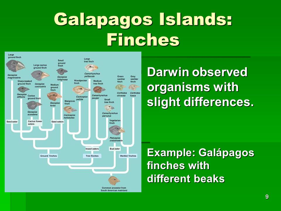 Galapagos Islands: Finches