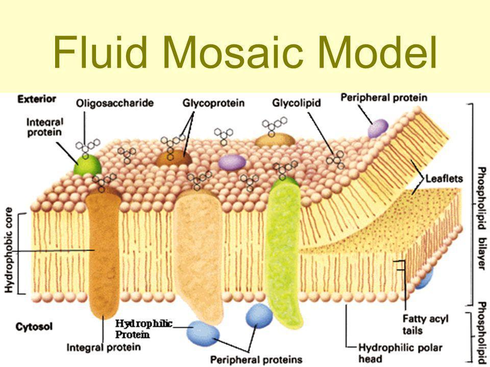 Fluid Mosaic Model Population Size