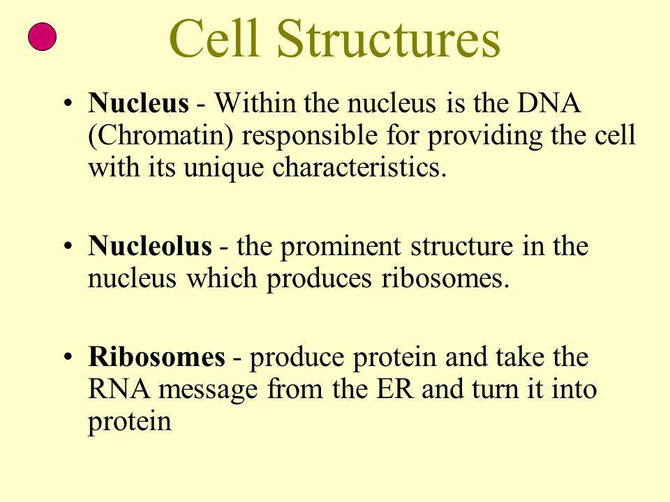 Cell Structures Nucleus - Within the nucleus is the DNA (Chromatin) responsible for providing the cell with its unique characteristics.