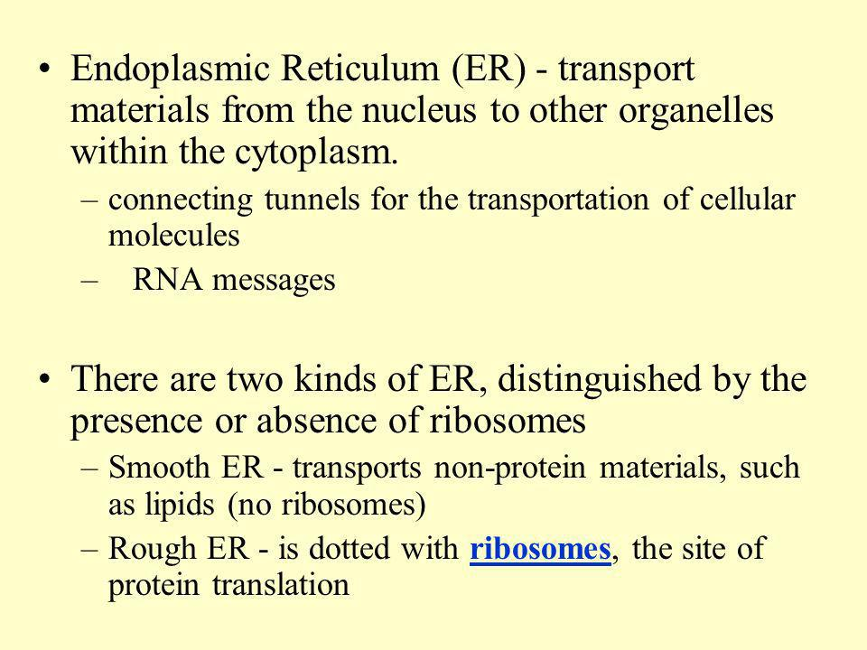 Endoplasmic Reticulum (ER) - transport materials from the nucleus to other organelles within the cytoplasm.