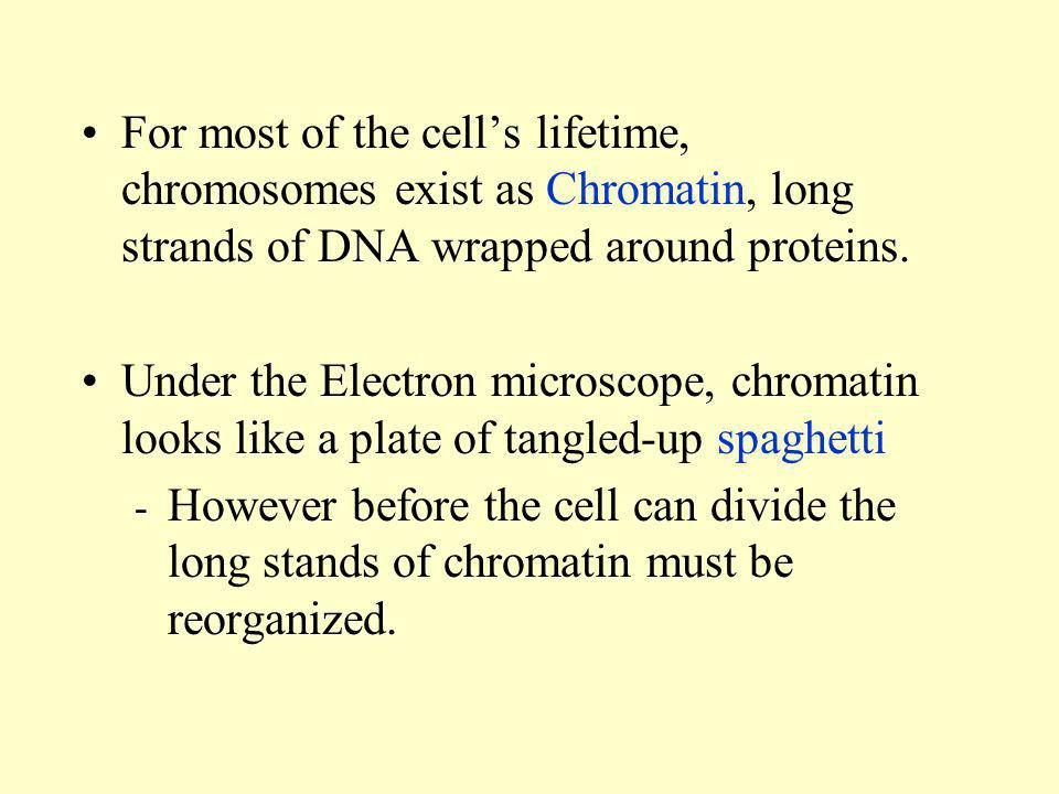 For most of the cell's lifetime, chromosomes exist as Chromatin, long strands of DNA wrapped around proteins.