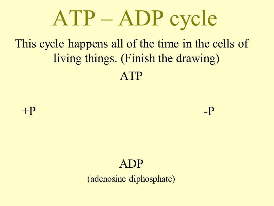 (adenosine diphosphate)