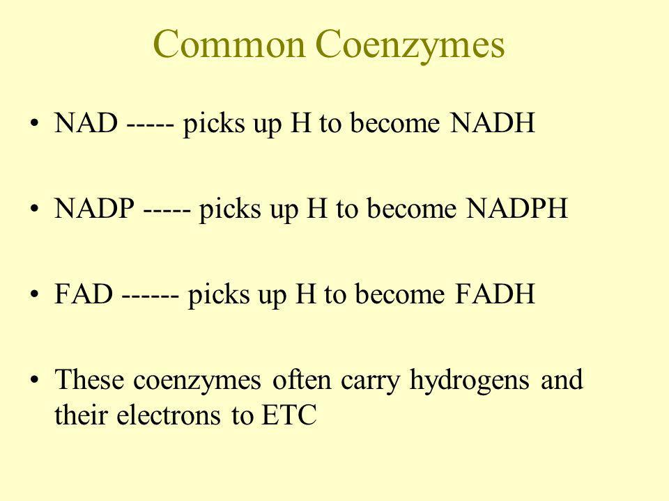 Common Coenzymes NAD ----- picks up H to become NADH