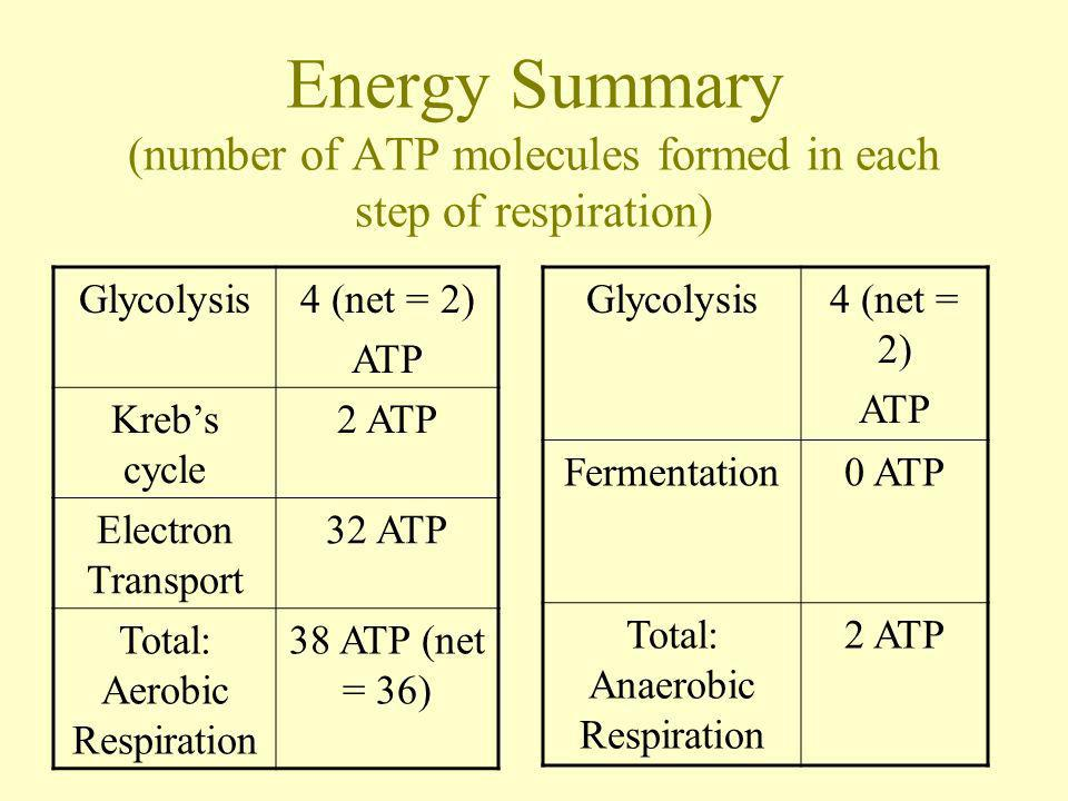 Energy Summary (number of ATP molecules formed in each step of respiration)