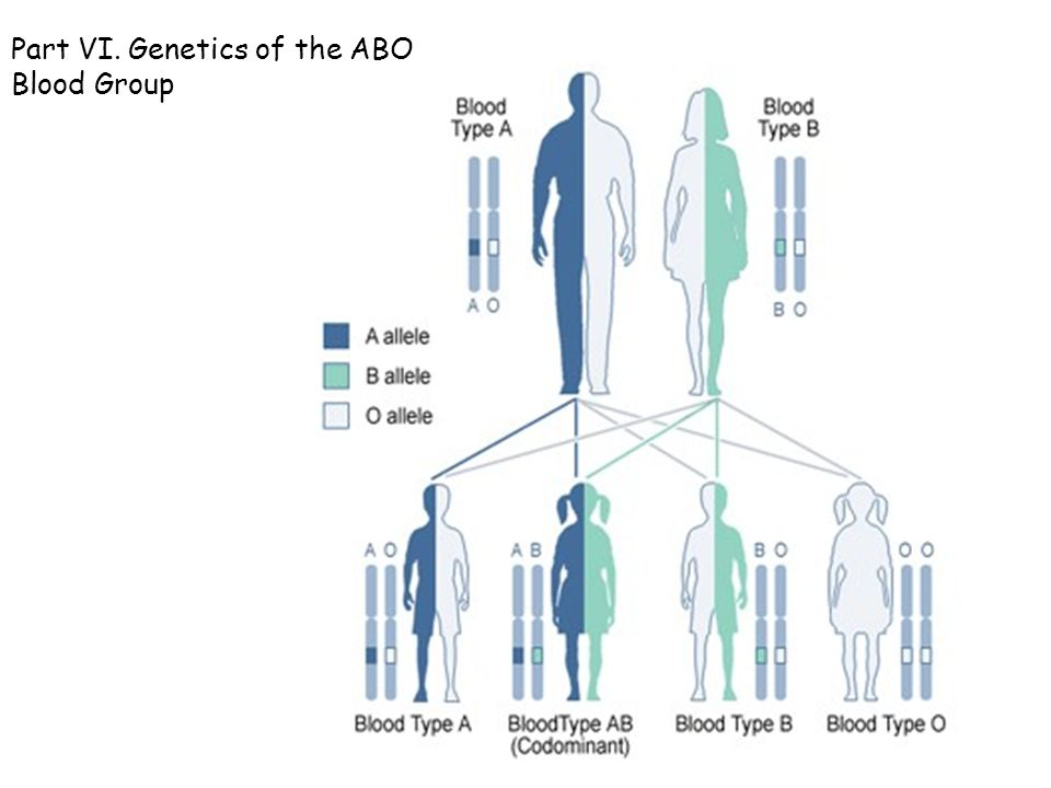 The abo blood group genetics