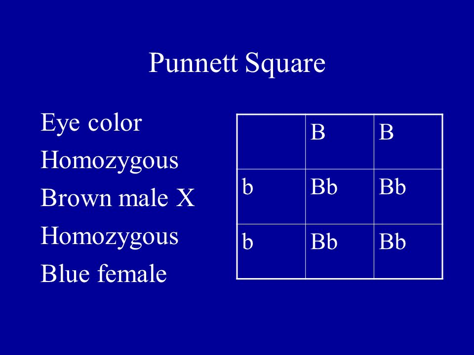Punnett Square Eye color Homozygous Brown male X Blue female B b Bb