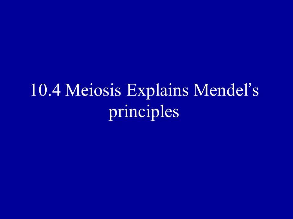 10.4 Meiosis Explains Mendel's principles