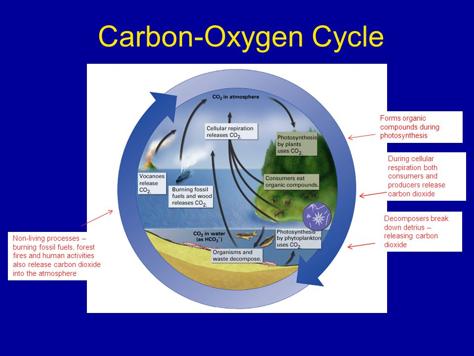 Carbon-Oxygen Cycle Forms organic compounds during photosynthesis