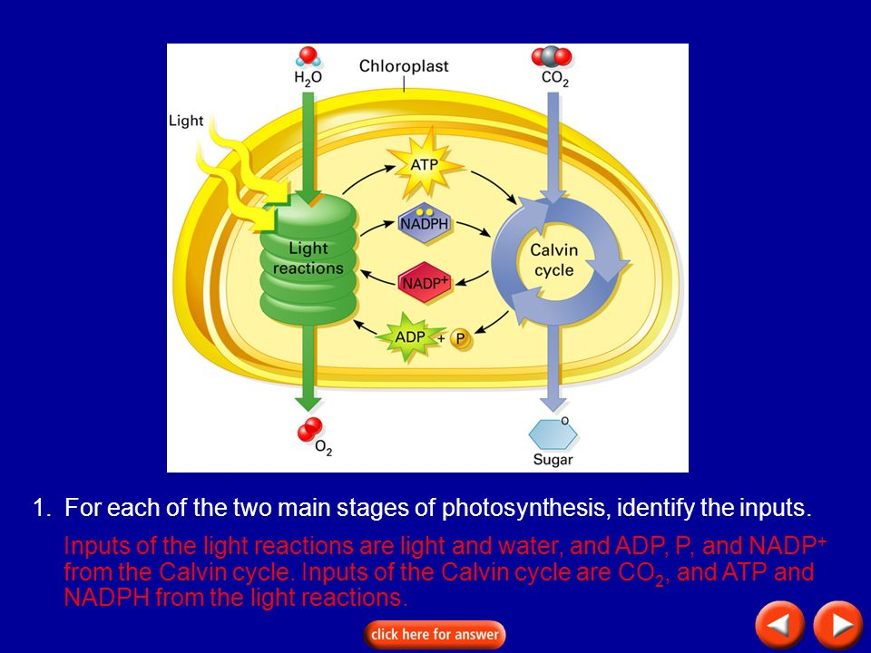 Transparency 8B-4 1. For each of the two main stages of photosynthesis, identify the inputs.