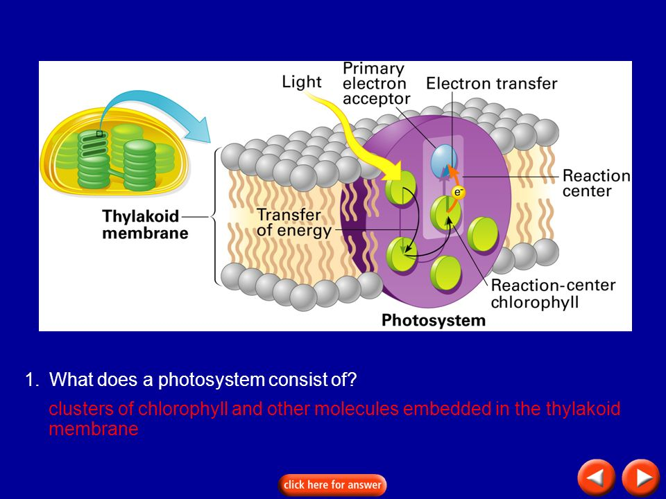 Transparency 8C-6 1. What does a photosystem consist of