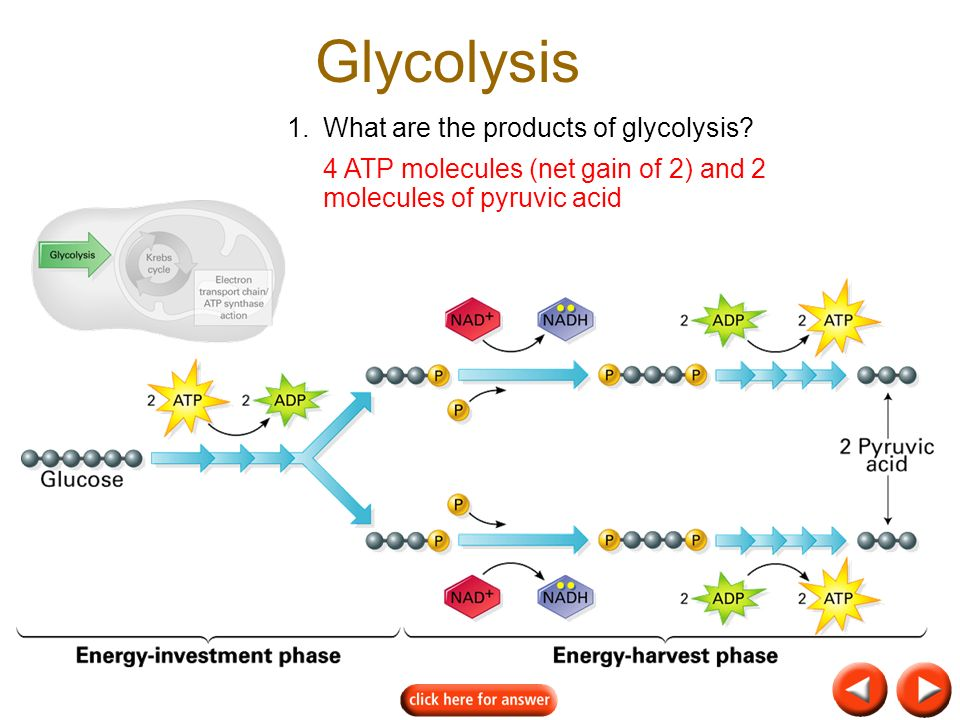 Glycolysis 1. What are the products of glycolysis