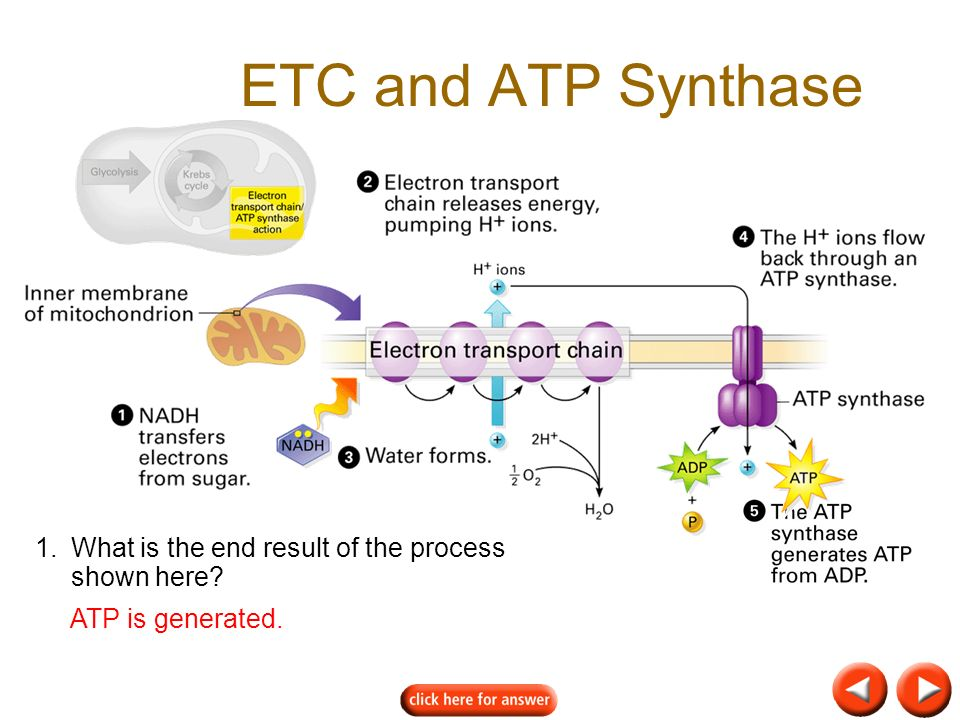 ETC and ATP Synthase 1. What is the end result of the process shown here ATP is generated.