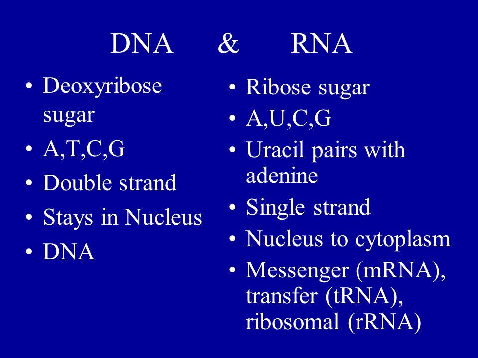 DNA & RNA Deoxyribose sugar Ribose sugar A,U,C,G A,T,C,G