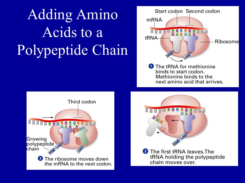 Adding Amino Acids to a Polypeptide Chain