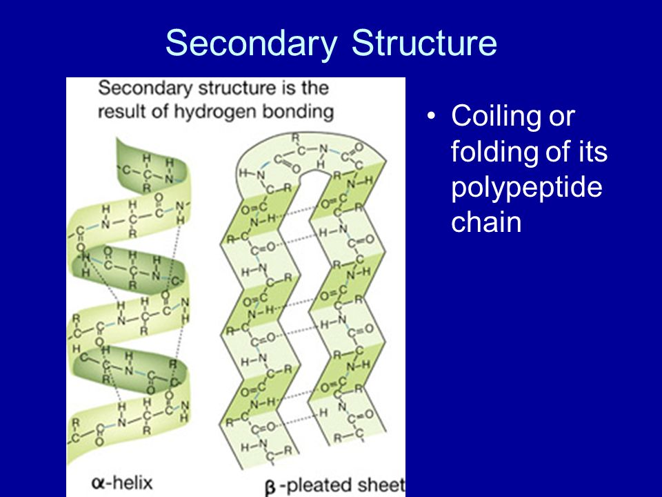 Secondary Structure Coiling or folding of its polypeptide chain