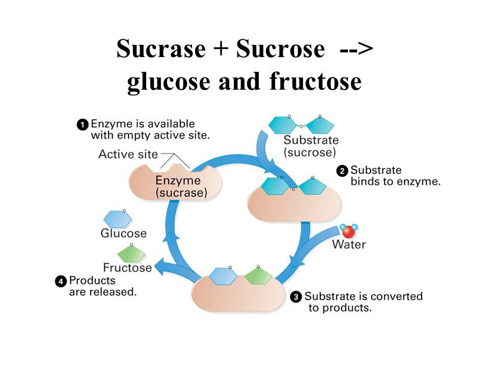 Sucrase + Sucrose --> glucose and fructose
