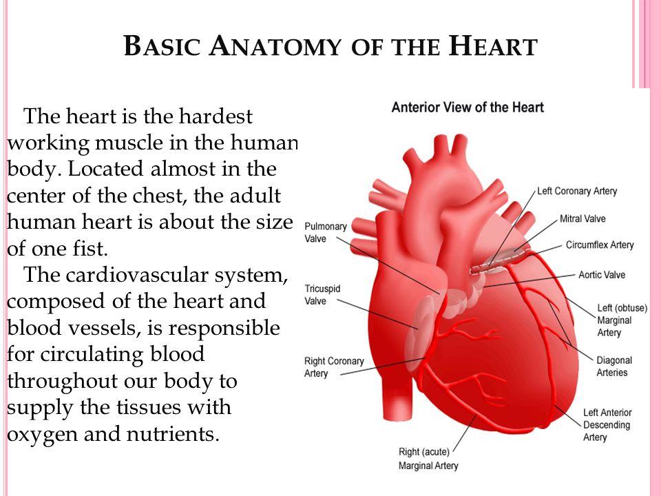 Basic anatomy of the heart