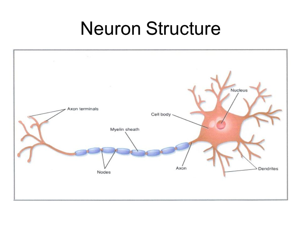 structure along with do the job for neurons essaytyper