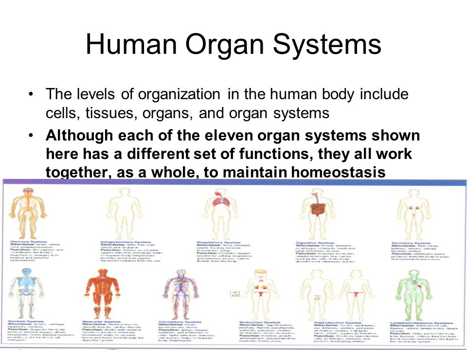 different systems in a human body This topic will to discuss the human body and its major organ systems  different  nutrients, oxygen and waste products pass in and out of our blood through the.