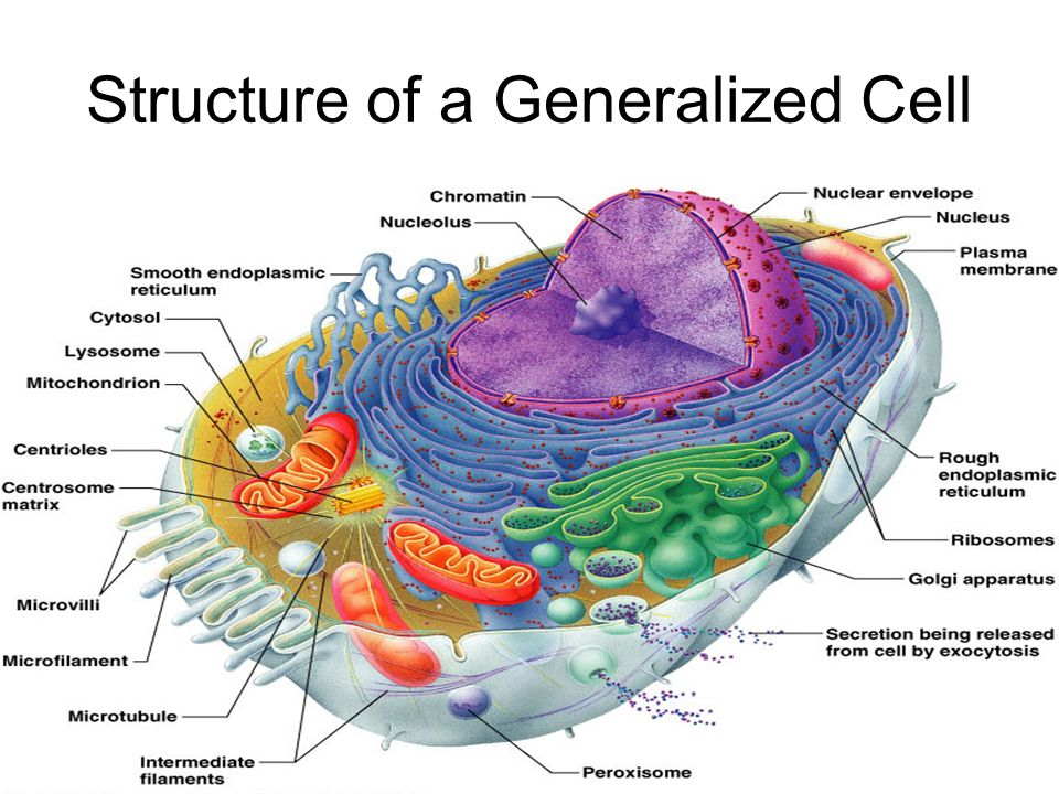 structure of a generalized cell ppt video online download rh slideplayer com generalized nerve cell diagram generalized cell diagram anatomy