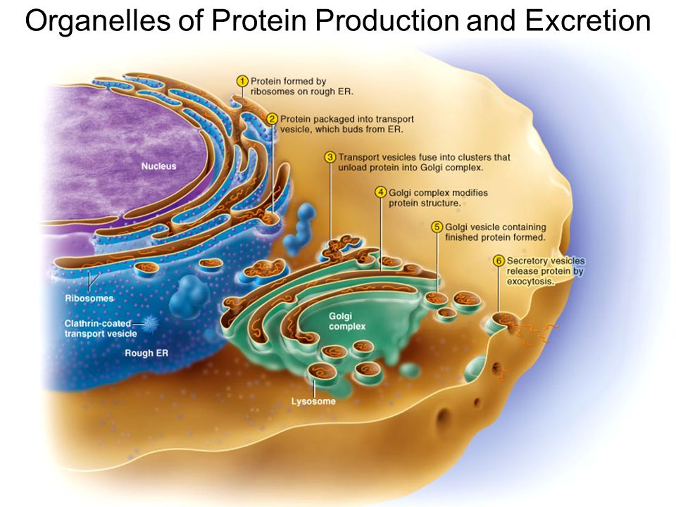cell organelles and the production of