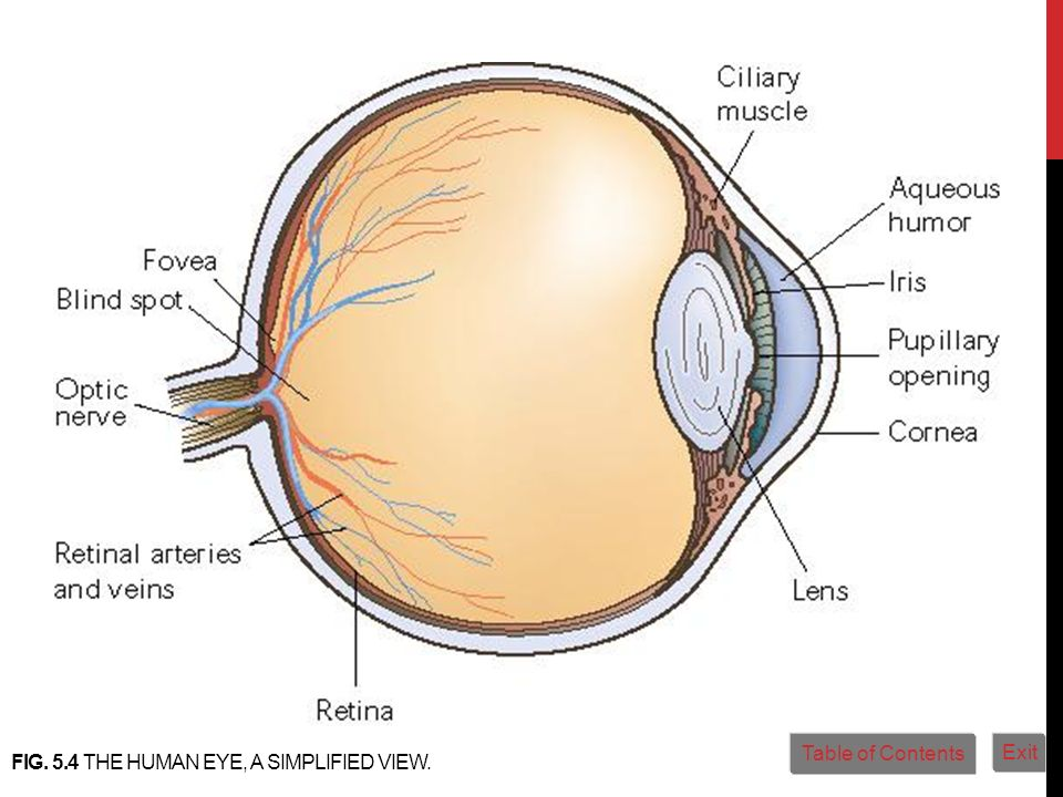 Fig. 5.4 The human eye, a simplified view.