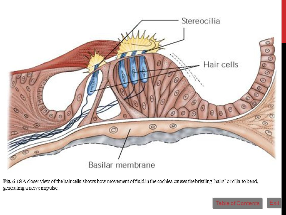 Fig. 6-18 A closer view of the hair cells shows how movement of fluid in the cochlea causes the bristling hairs or cilia to bend, generating a nerve impulse.