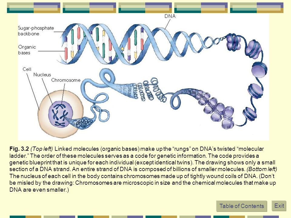 Fig. 3.2 (Top left) Linked molecules (organic bases) make up the rungs on DNA's twisted molecular ladder. The order of these molecules serves as a code for genetic information. The code provides a genetic blueprint that is unique for each individual (except identical twins). The drawing shows only a small section of a DNA strand. An entire strand of DNA is composed of billions of smaller molecules. (Bottom left) The nucleus of each cell in the body contains chromosomes made up of tightly wound coils of DNA. (Don't be misled by the drawing: Chromosomes are microscopic in size and the chemical molecules that make up DNA are even smaller.)