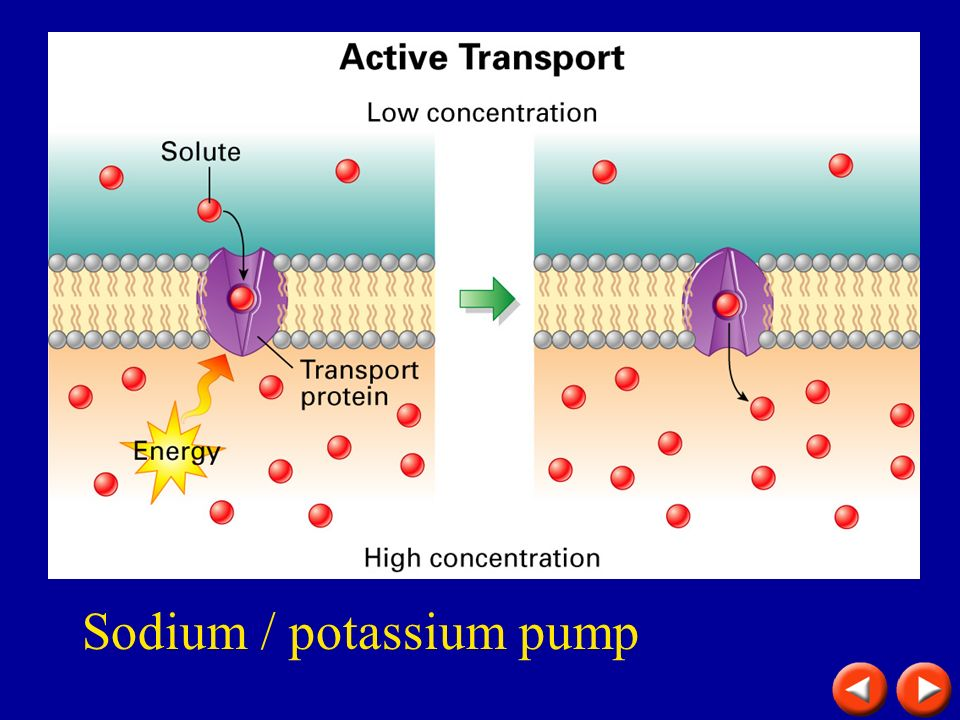 Active Transport Sodium / potassium pump