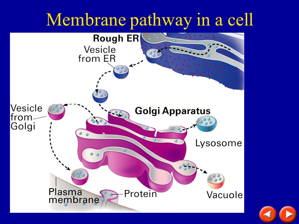 Membrane pathway in a cell