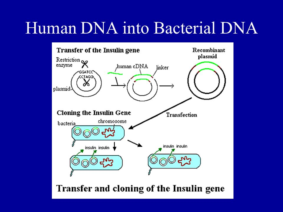 Human DNA into Bacterial DNA