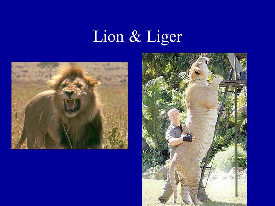 Lion & Liger
