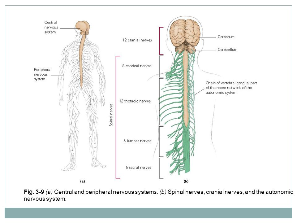 Fig. 3-9 (a) Central and peripheral nervous systems