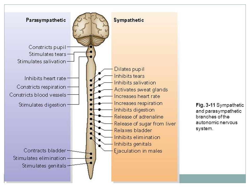 Fig. 3-11 Sympathetic and parasympathetic branches of the autonomic nervous system.