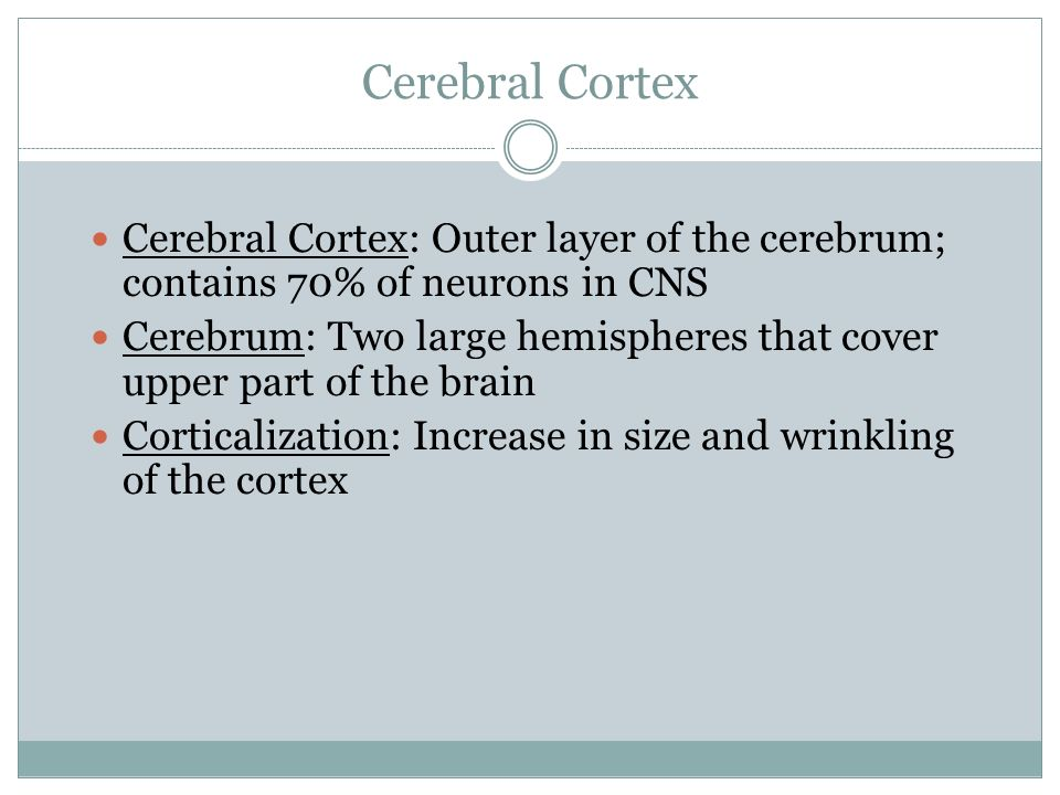 Cerebral Cortex Cerebral Cortex: Outer layer of the cerebrum; contains 70% of neurons in CNS.