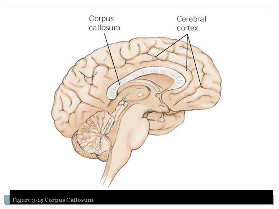Figure 3-15 Corpus Callosum