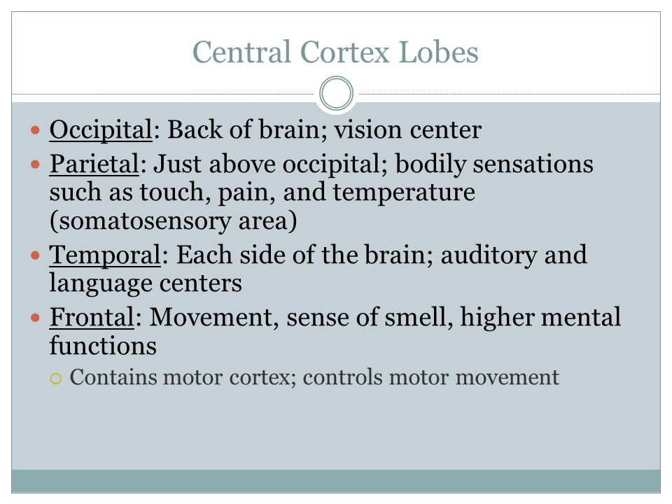 Central Cortex Lobes Occipital: Back of brain; vision center