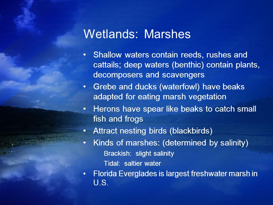 Wetlands: Marshes Shallow waters contain reeds, rushes and cattails; deep waters (benthic) contain plants, decomposers and scavengers.